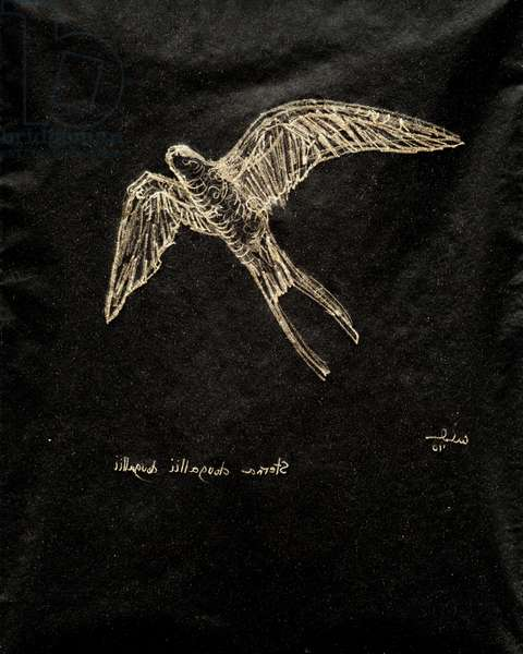 (80.15 W) Roseate Tern, 2010 (carbon paper drawing)