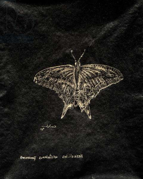 (80.15 W) Schaus Swallowtail Butterfly, 2010 (carbon paper drawing)