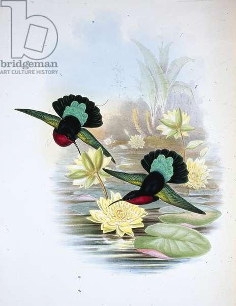 Purple-breasted Carib (Eulampis Jugularis) (hand-coloured litho)