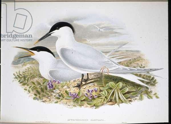 Sandwich Tern  (Actochel Cantiaca) (hand-coloured litho)