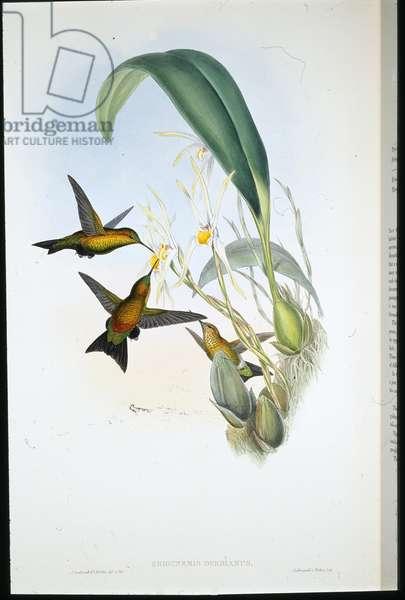Derby's Puff-leg (Eriocnemis Derbianus) (hand-coloured litho)