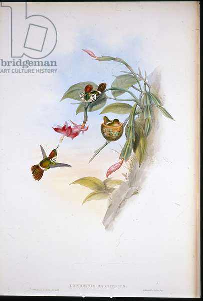 Frilled Coquette (Lophornis Magnificus) (hand-coloured litho)