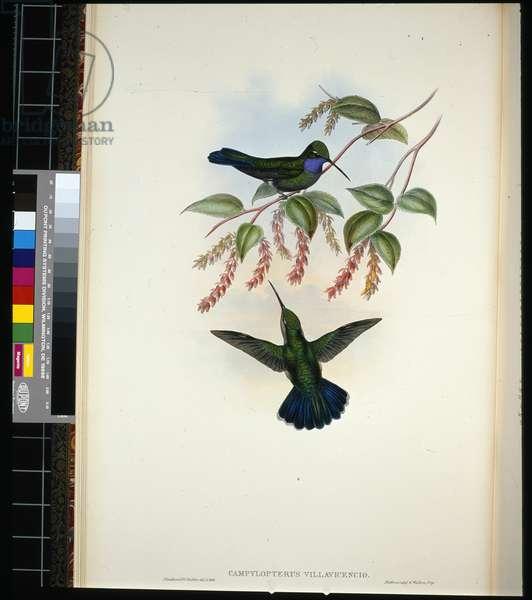 Villavicencio's Sabre-wing (campylopterus villavicencio) (hand-coloured litho)
