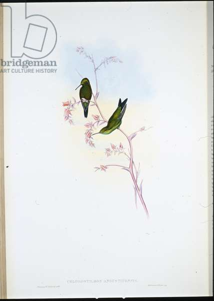 Columbian Emerald (Chlorostilbon Angustipennis) (hand-coloured litho)
