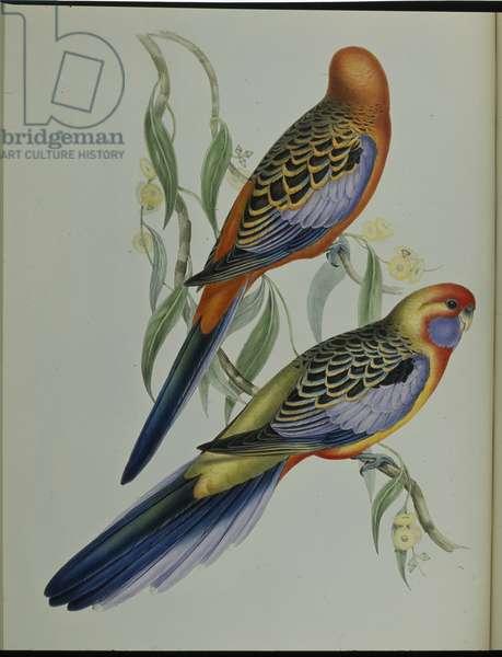 Adelaide Parakeet (Platycercus Adelaidiae) (hand-coloured litho)