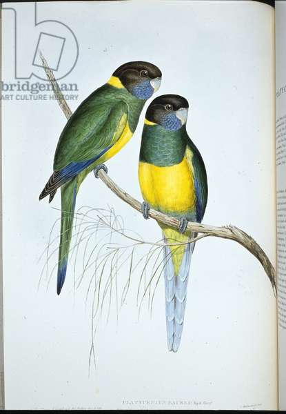 Bauer's Parakeet (Platycercus Baueri) (hand-coloured litho)