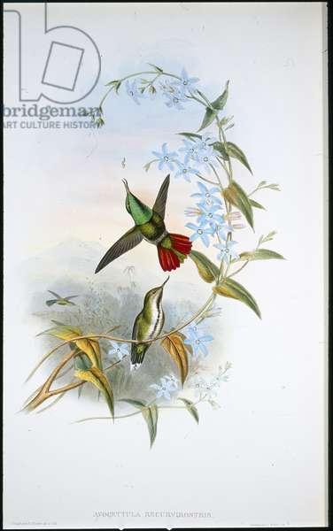 Fiery-tailed Avocet (Avocettula Recurvirostris) (hand-coloured litho)