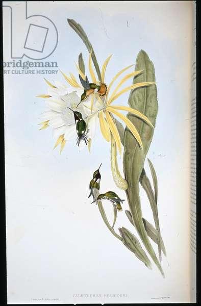 Heliodore's Wood Star (Calothorax Heliodori) (hand-coloured litho)