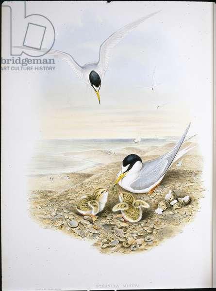 Little Tern (Sternula Minuta) (hand-coloured litho)