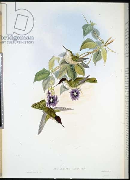 Chilian Fire-crown (Eustephanus Galeritus) (hand-coloured litho)