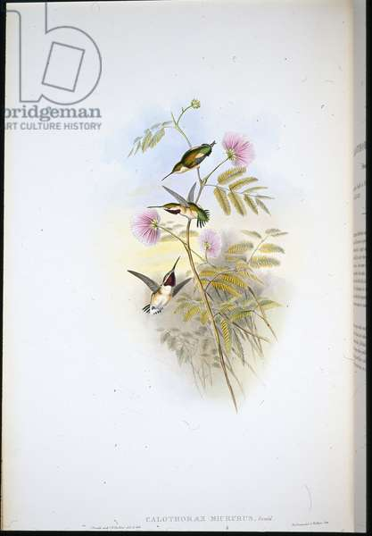 Short-tailed Wood-star (Calothorax Micrurus) (hand-coloured litho)