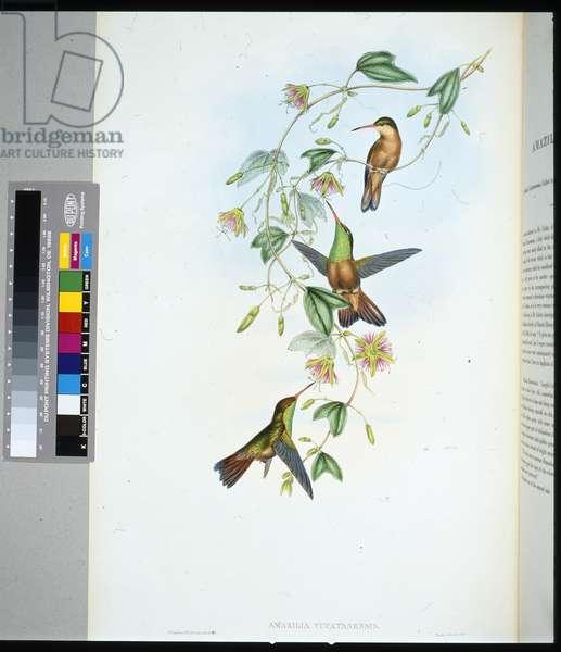 Yucatan Amazili (amazilia yucatanensis) (hand-coloured litho)