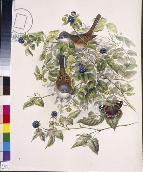 Common Whitethroat (Sylvia communis) (hand-coloured litho)