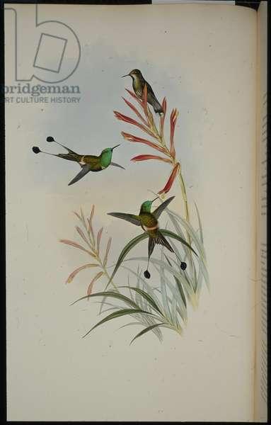 Racket-tail (Discura Longicauda) (hand-coloured litho)