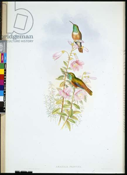 Amazili (Amazilia Pristina) (hand-coloured litho)