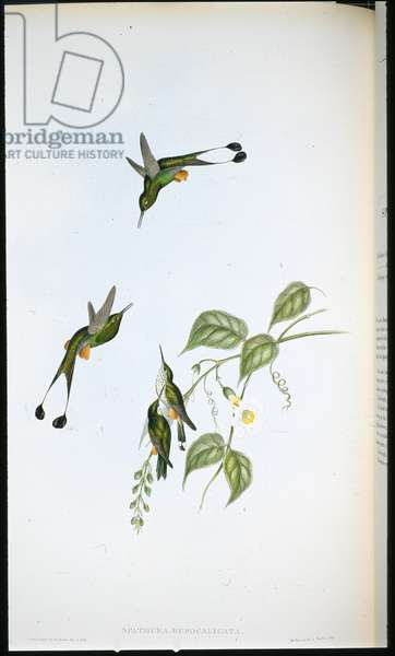Red-booted Racket-tail (Spathura Rufocaligata) (hand-coloured litho)