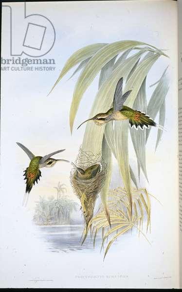 Eurynome Hermit (Phaethornis Eurynome) (hand-coloured litho)