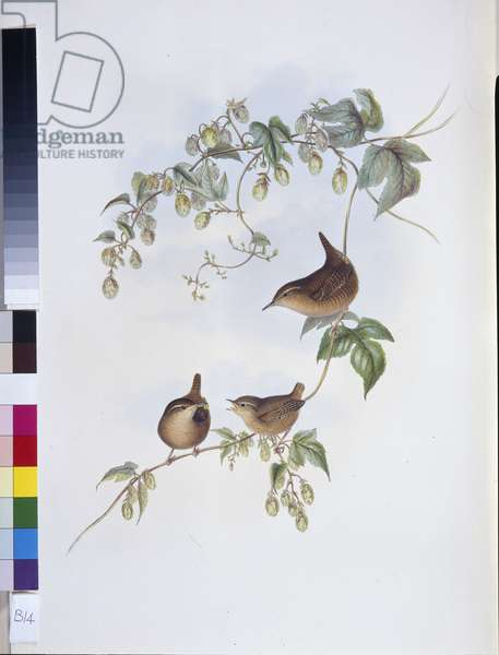 Common Wren (Troglodytes Europeus) (hand-coloured litho)