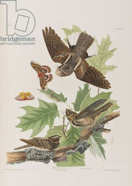 Illustration from 'Birds of America', 1827-38 (hand-coloured engraving & aquatint)