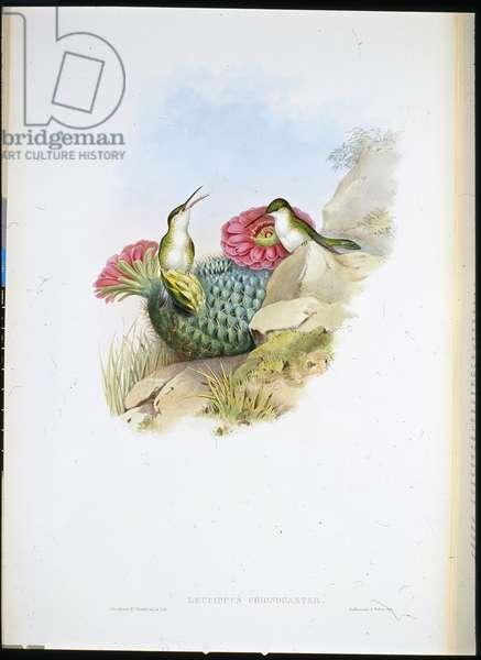 White-breasted Leucippus (leucippus chionogaster) (hand-coloured litho)