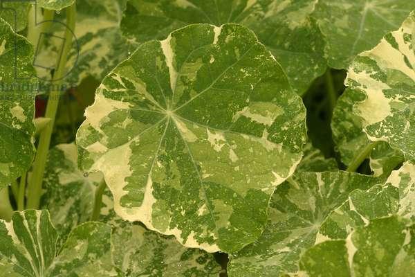 """Leaf, Tropaeolum majus """""""" Alaska"""""""
