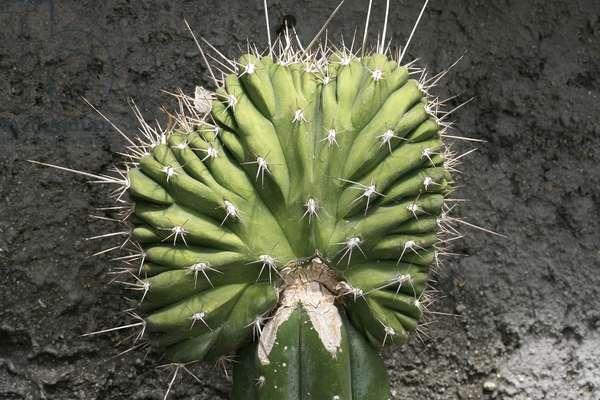 "Stetsonia coryne """" Cristata"""""", crested cactus"