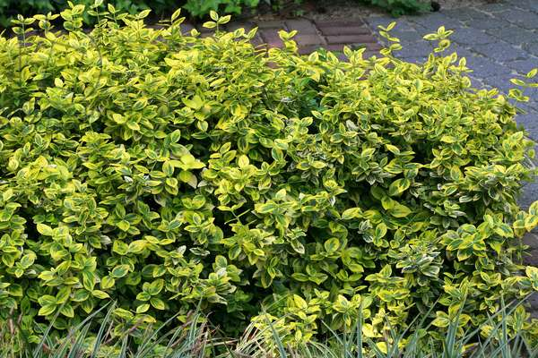 Euonymus fortunei Emerald 'n Gold