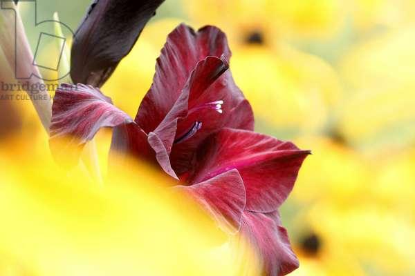 Gladiolus, Italy