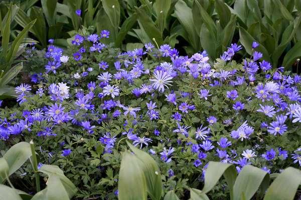 "Anemone blanda ""Blue Shades"""""