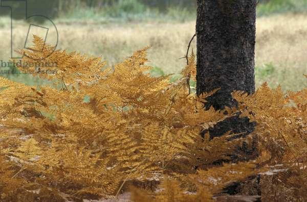 Flowering fern, Yellowstone National Park, United States of America, America