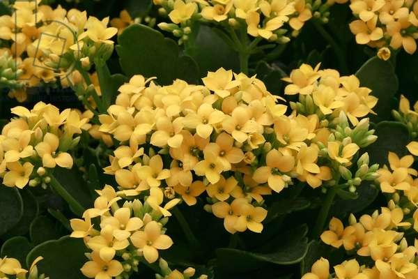Kalanchoe blossfeldiana Lea