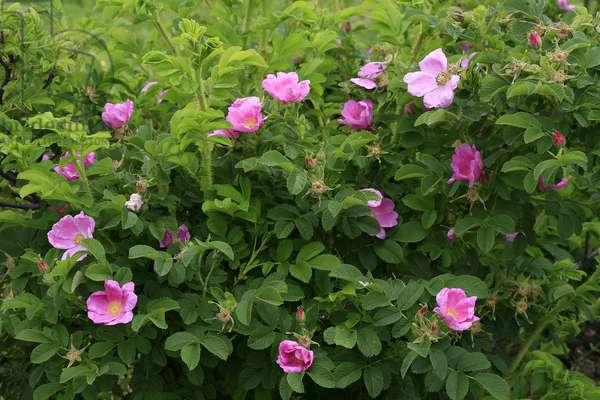 Rosa kamtchatica