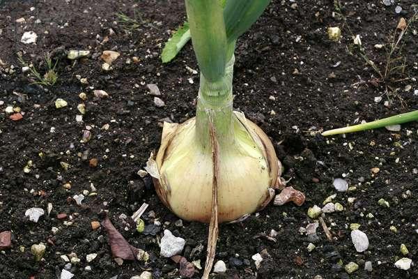"Onion ""Ailsa Craig"""