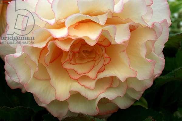 "Begonia x tuberhybrida ""Fred Martin"""""