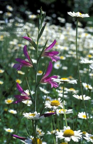 Gladiolus Segetum, Italy