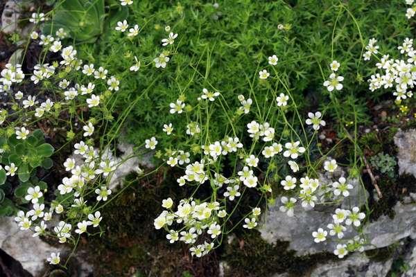 Saxifraga pentadactylis, saxifrage