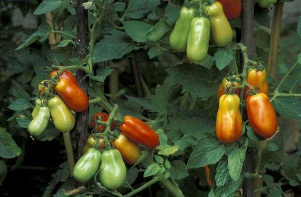 Solanum Lycopersicum, Tomatoes, Italy