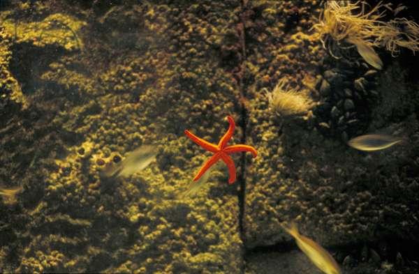 Mediterranean starfish, Aquarium, Genoa, Liguria, Italy