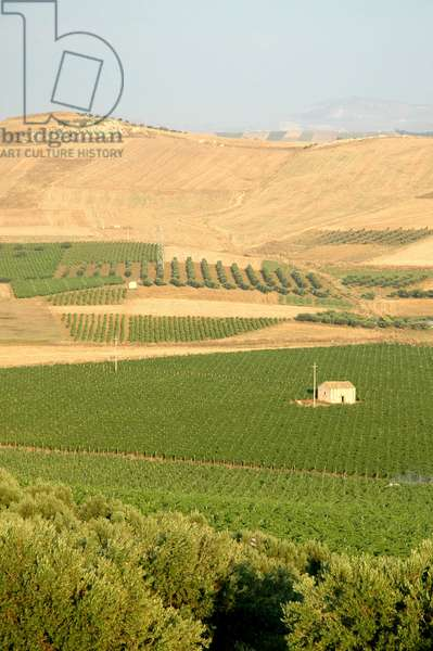 Vineyards, Paceco, Sicily, Italy