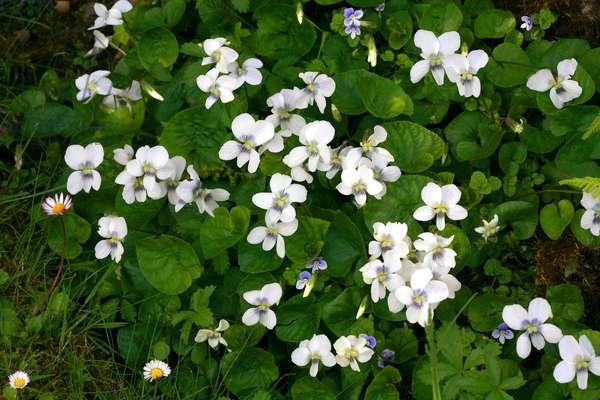 Viola sororia f. alba
