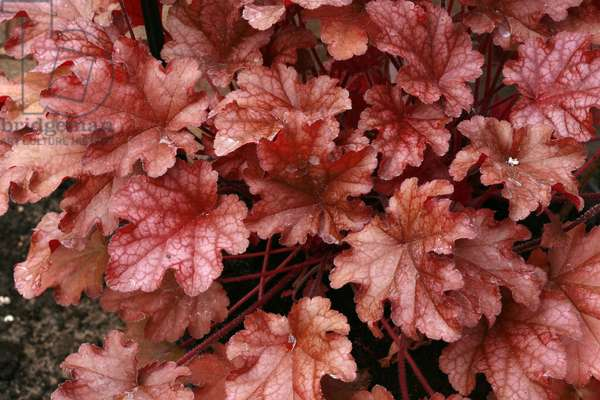 "Heuchera """" Peach Flame"""