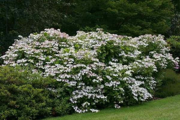 "Hydrangea macrophylla ""Lanarth White"""", lacecup hydrangea"