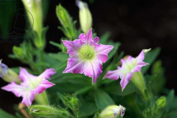 Petunia Ice Pink