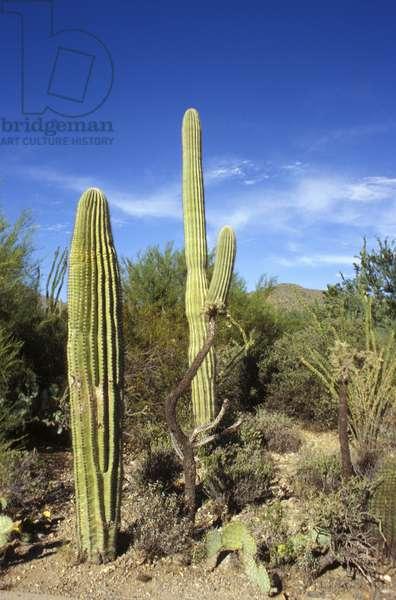 Saguaro cactus, Sonora Desert museum, Arizona, United States of America, North America