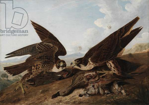 Peregrine Falcons (Duck Hawks), c.1827 (oil on canvas)