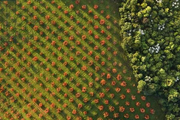 Persimmon field, 2008 (photo)