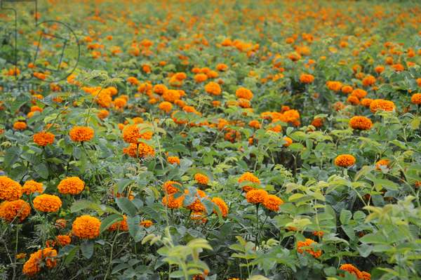 Marigolds for perfume industry, Yunnan Province, China (photo)