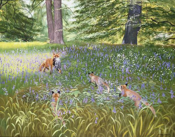 Foxes in Bluebells