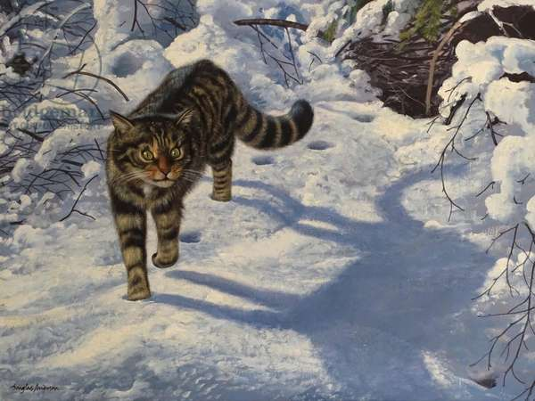 Scottish Wild Cat (oil on canvas)