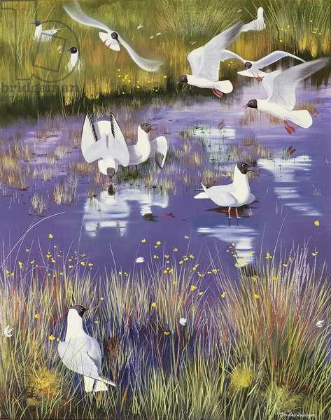Seagulls in Bog